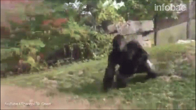 Los animales fueron filmados de pie, mientras luchaban por supremacía