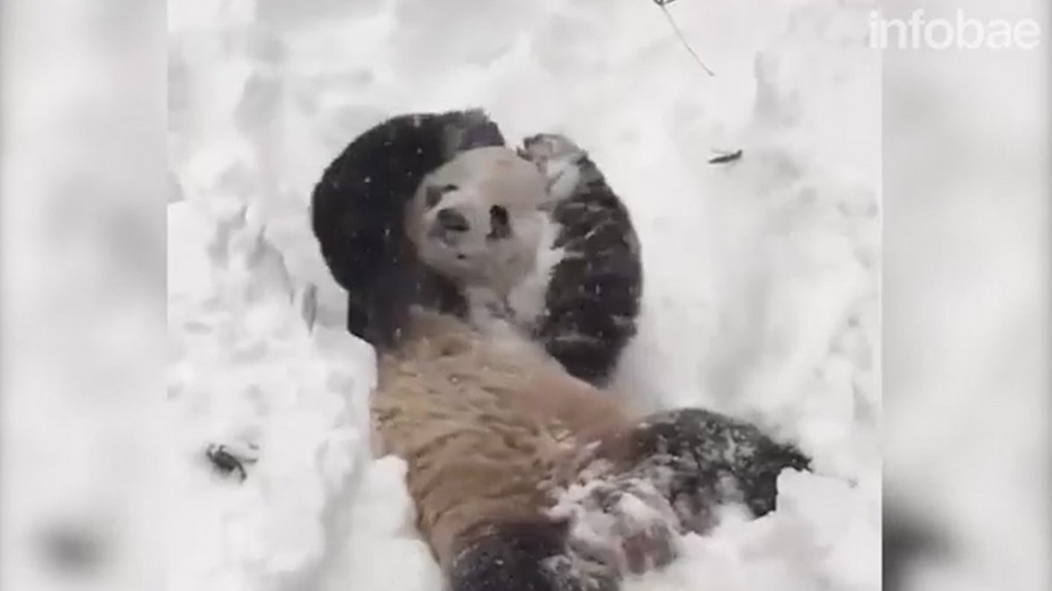 Tian Tian juega en la nieve. Crédito: The Smithsonians National Zoo - Washington