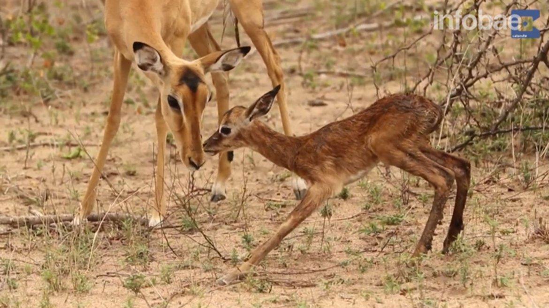 En la reserva sudafricana de Mala Mala el fotógrafo Brendan Cole capturó el emocionante video de un impala dando sus primeros pasos.
